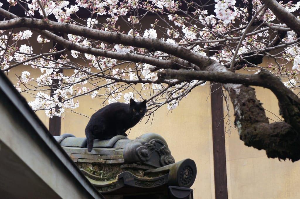 Chat noir sous les cerisiers en fleur sur un toit à Kyoto