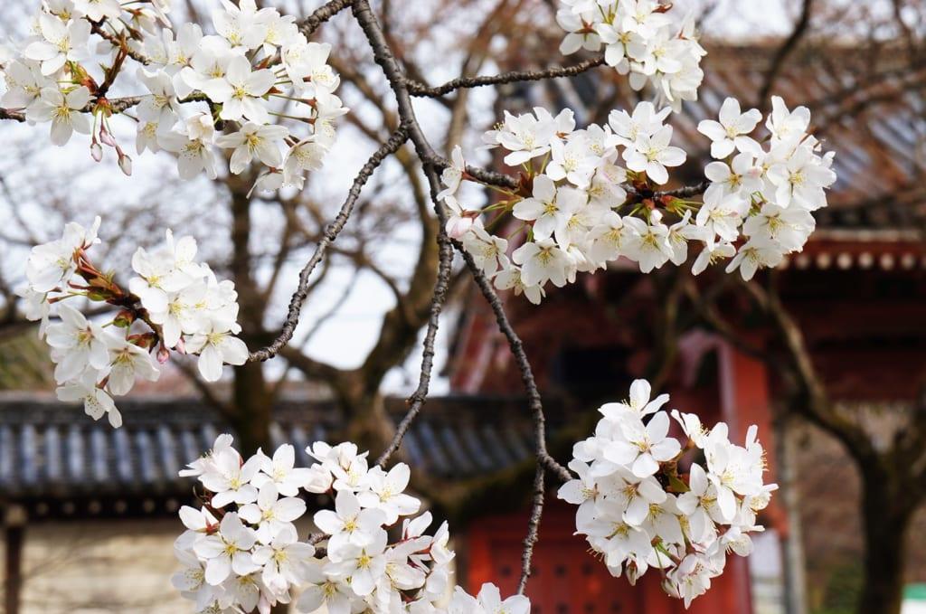 Cerisiers en fleurs devant un bâtiment traditionnel à Kyoto