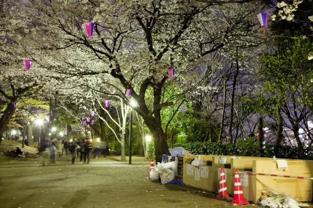 Sacs poubelle sous les cerisiers en fleurs