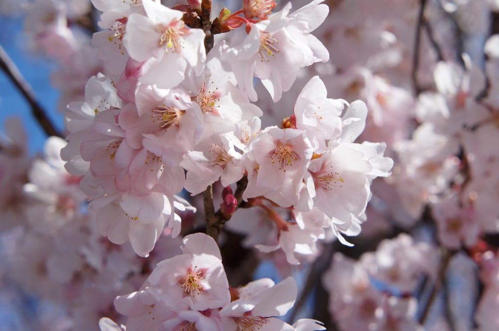 Gros plan sur des fleurs de cerisier