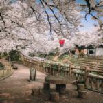 Admirer les cerisiers en fleur de Toyama, loin des foules de touristes