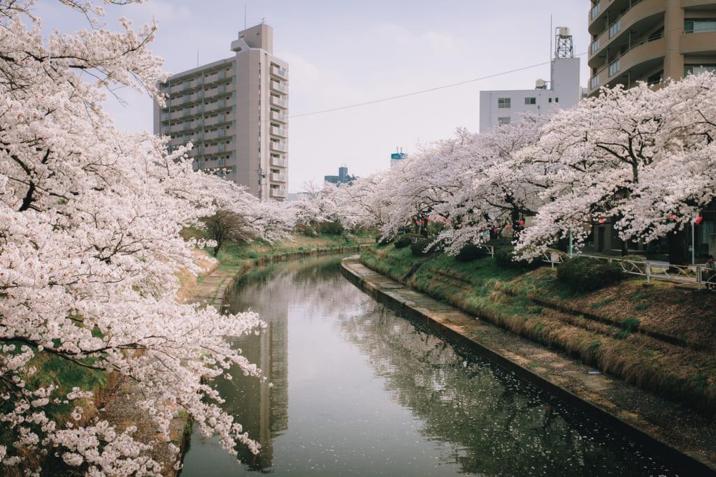 Les longues allées de cerisiers en fleur à Toyama