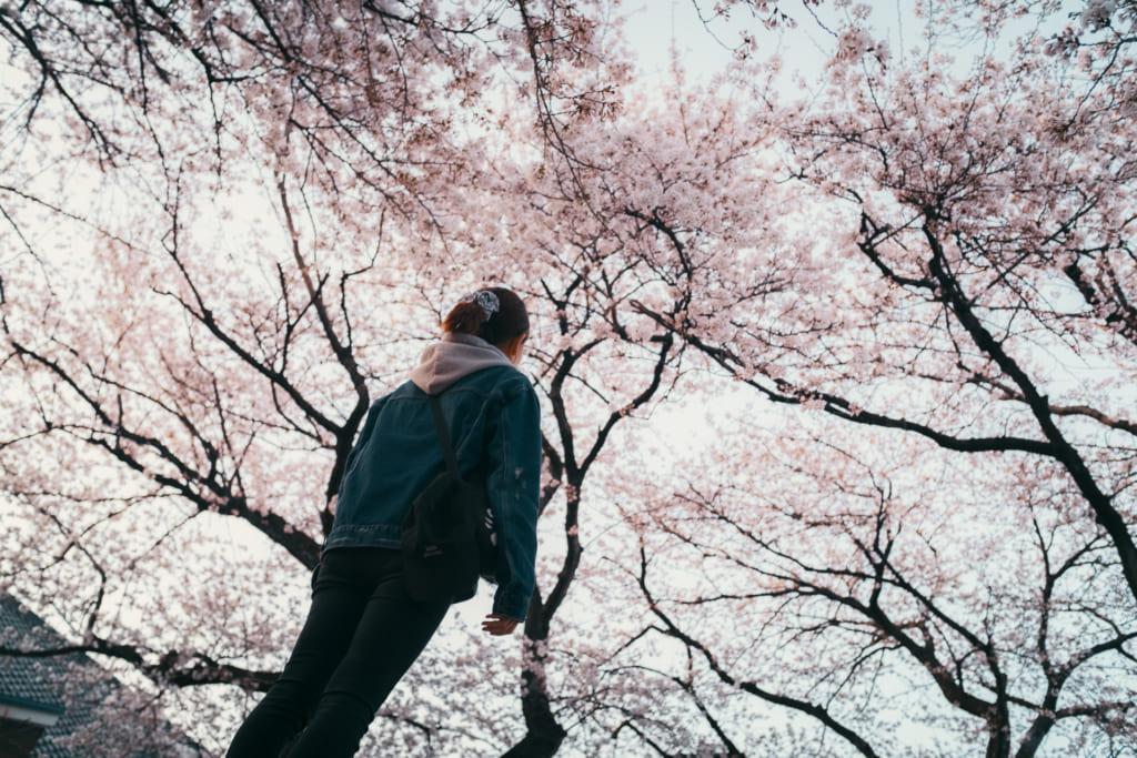 le ciel remplit de cerisiers en fleur à Toyama