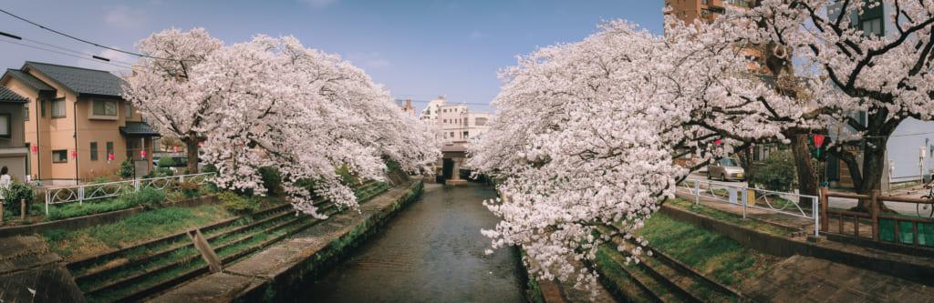 Les arbres de cerisiers couverts de fleurs qui semblent plonger dans matsukawa river à Toyama