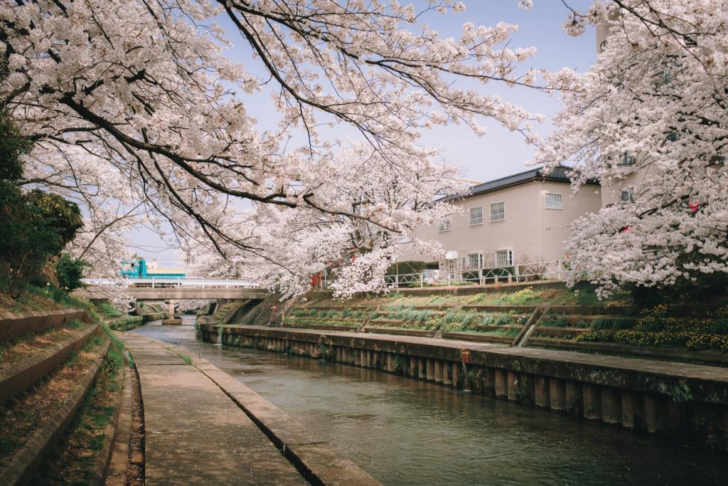 ballade paisible au bord de la rivière matsukawa, sous les cerisiers en fleur