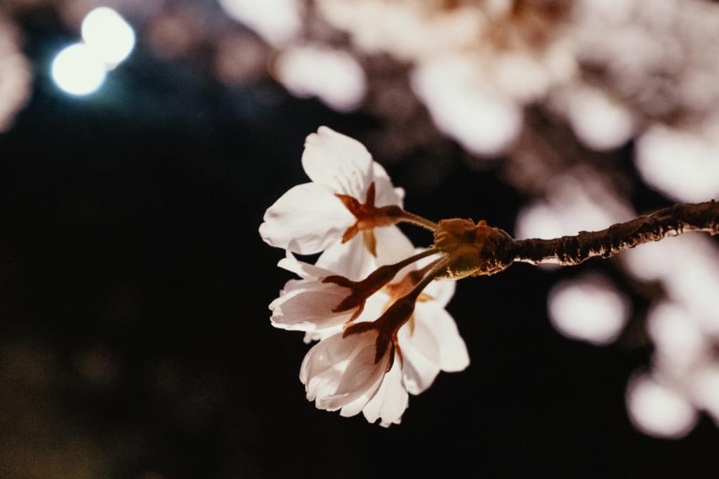 photo rapprochée des fleurs de cerisiers de toyama