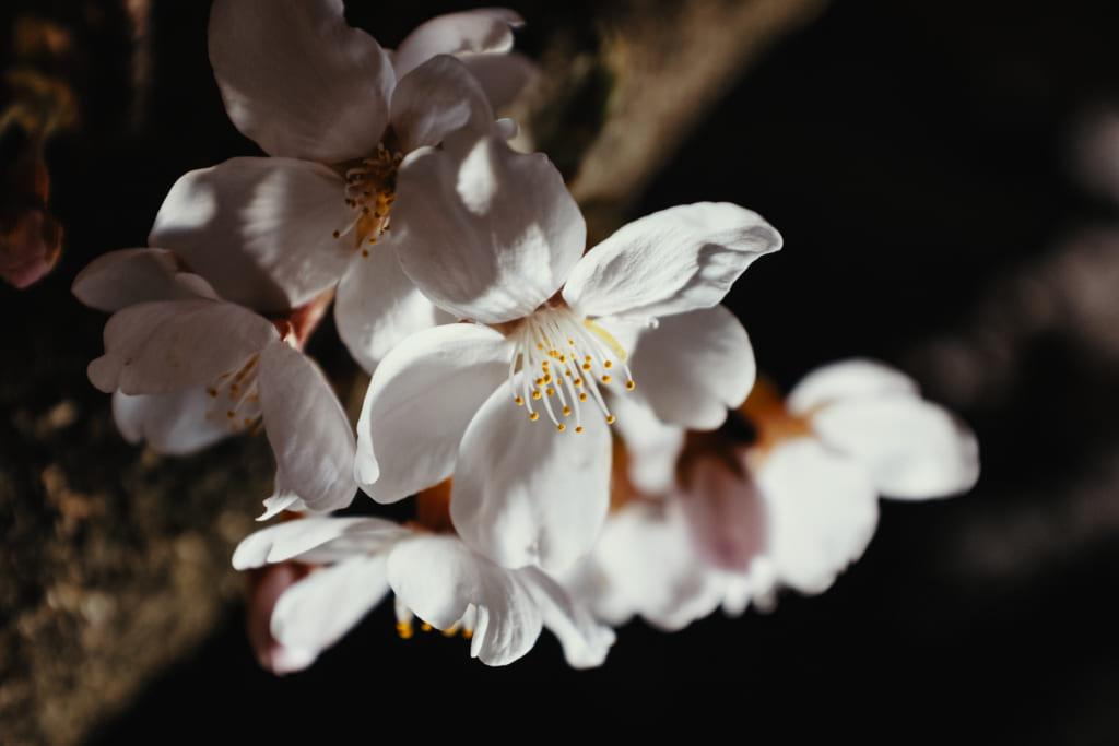 fleur de cerisier éclairé la nuit à Toyama