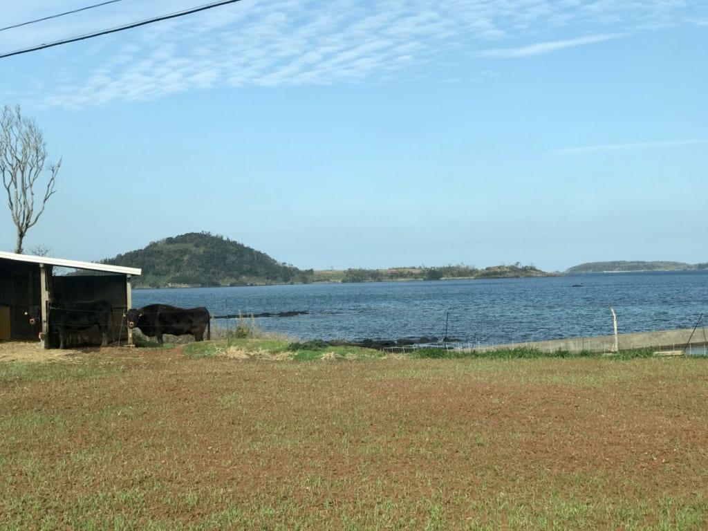 boeuf d'ojika sur l'île de la préfecture de nagasaki
