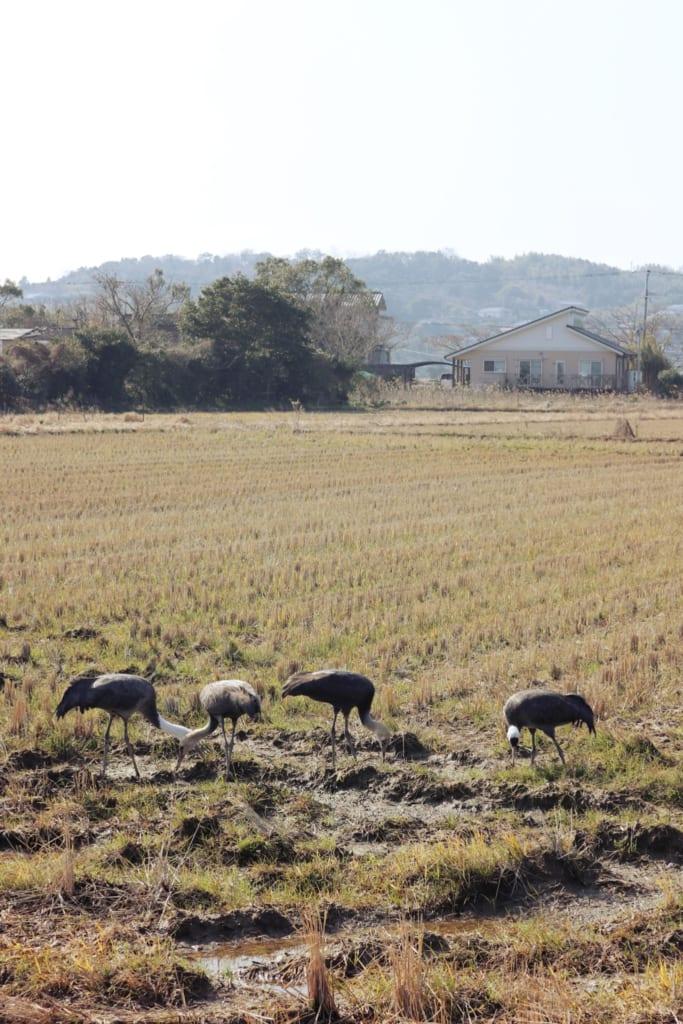 Des grues dans un champ à Izumi