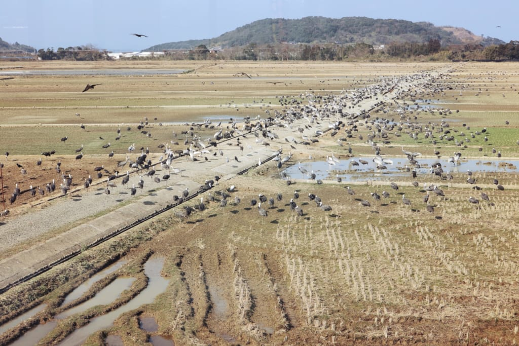Les nombreuses grues dans les champs d'Izumi depuis le centre d'observation