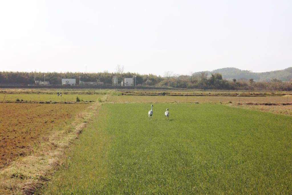 Deux grues dans un champ de riz