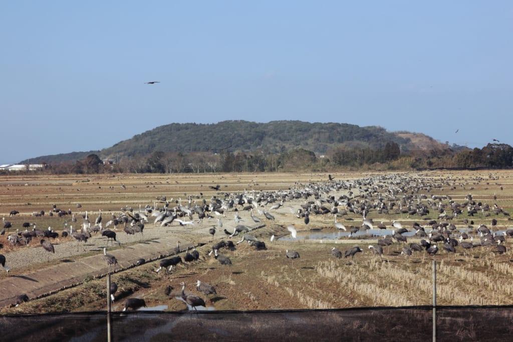 Un grand nombre de grues dans des champs à Izumi