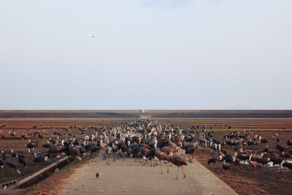 Une foule de grues dans les champs de riz d'izumi
