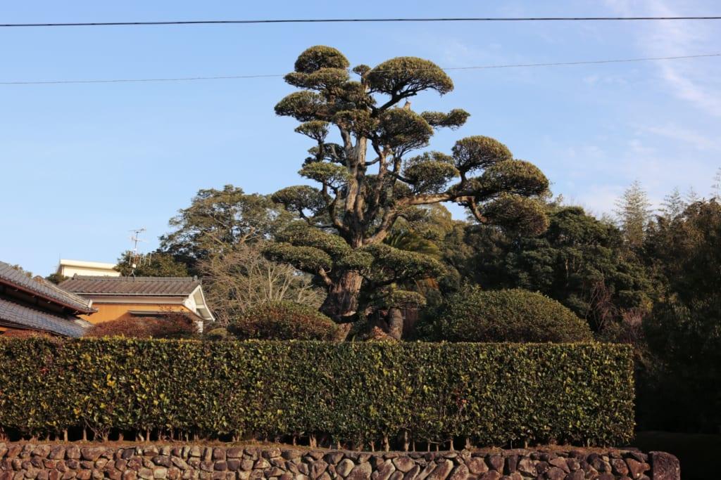 izumi inumaki, arbre traditionnel de la ville