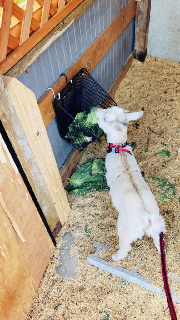 Mon séjour à la ferme m'a permis de rencontrer cette petite chèvre