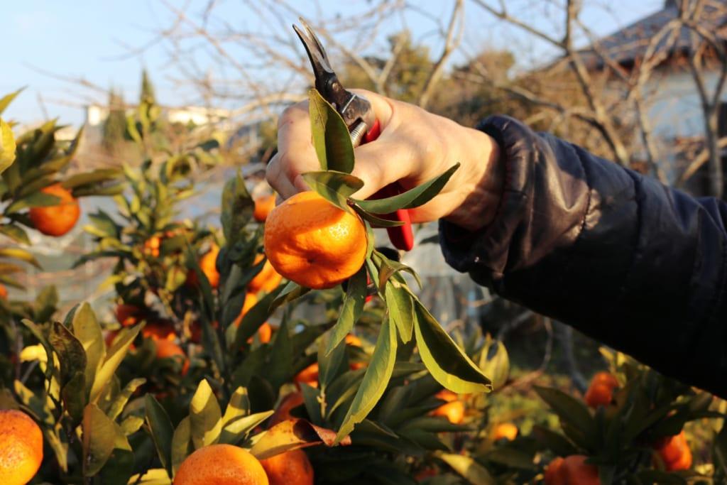 Les mandarines qui poussent derrière la maison