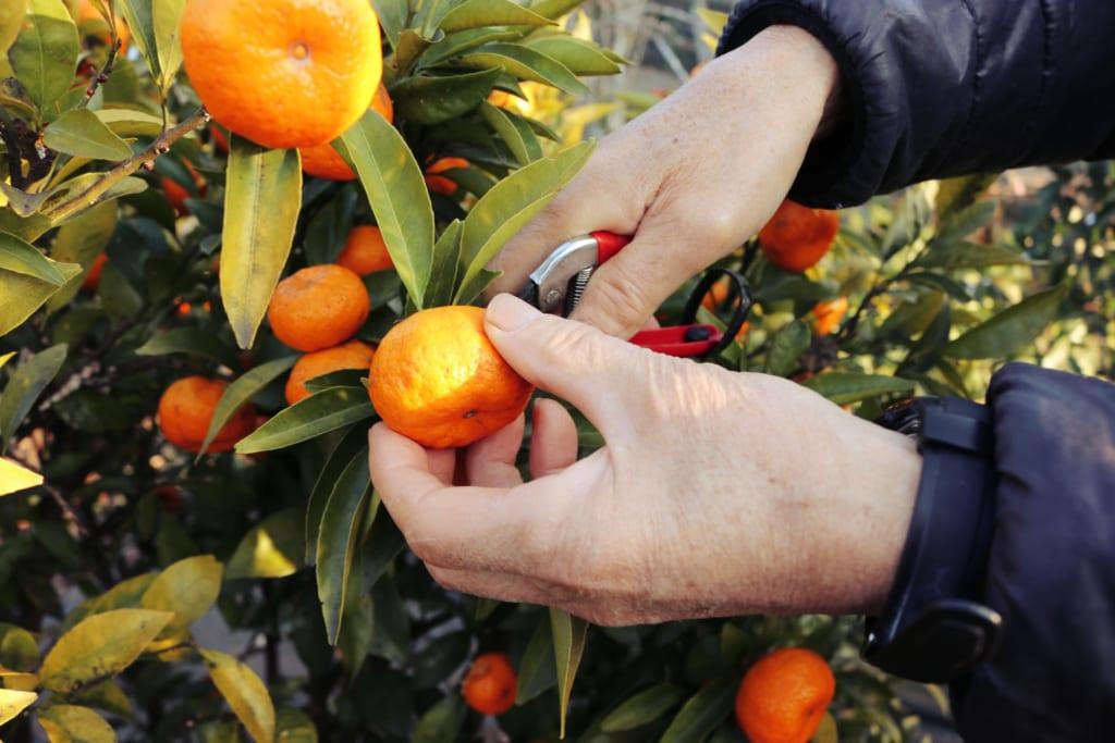 Mon hôte me laisse goûter à ses mandarines