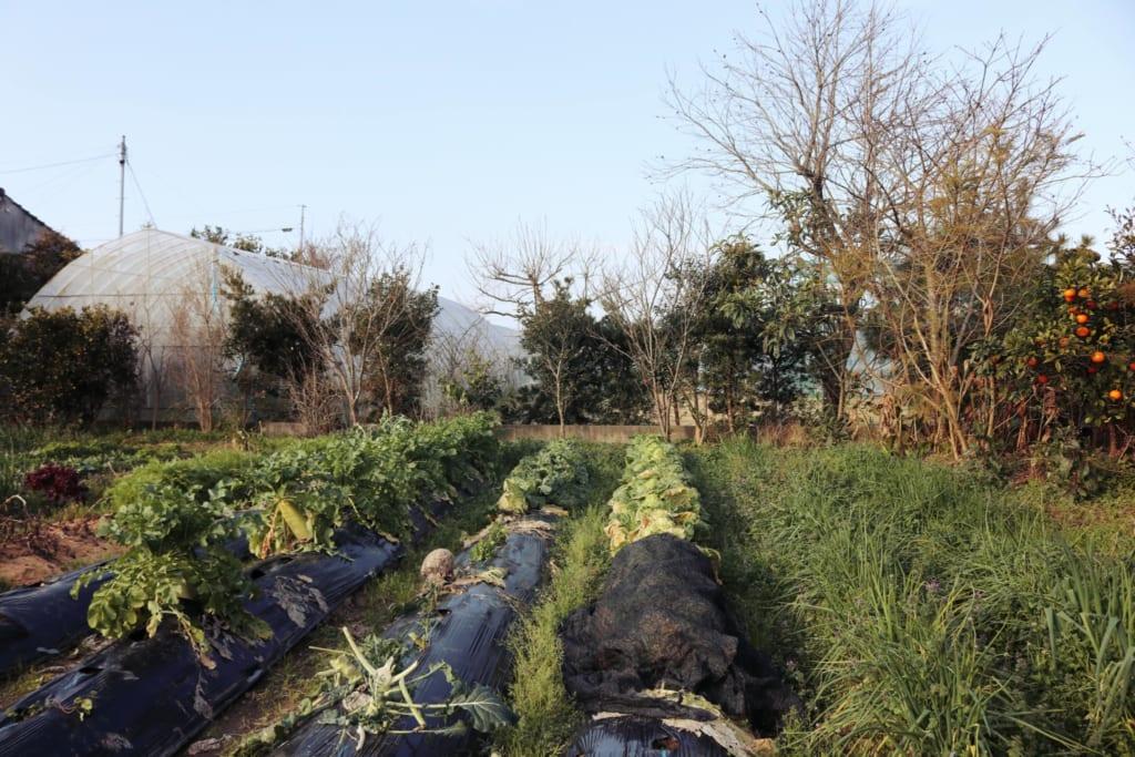 Les rangées de légumes qui poussent dans les champs