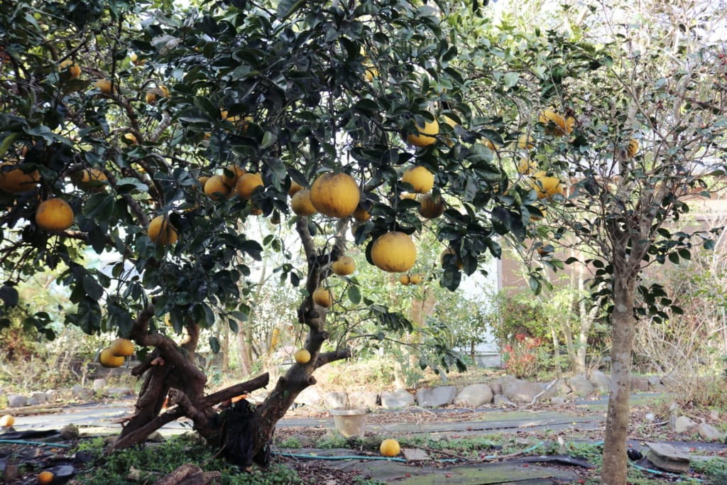un arbre d'agrumes