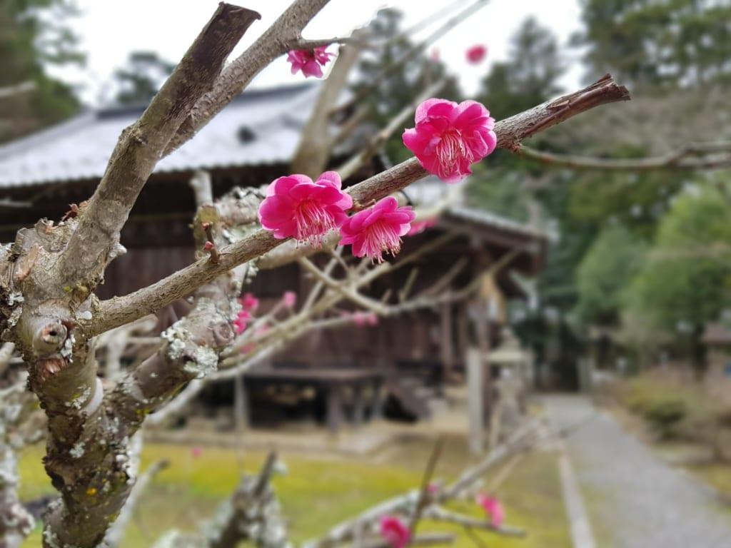 fleurs de prunier dans le sanctuaire de soukouchi