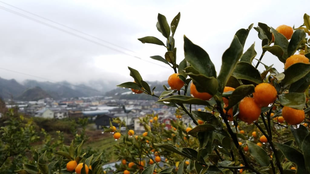 mandarinier, spécialité de la préfecture d'Ehime