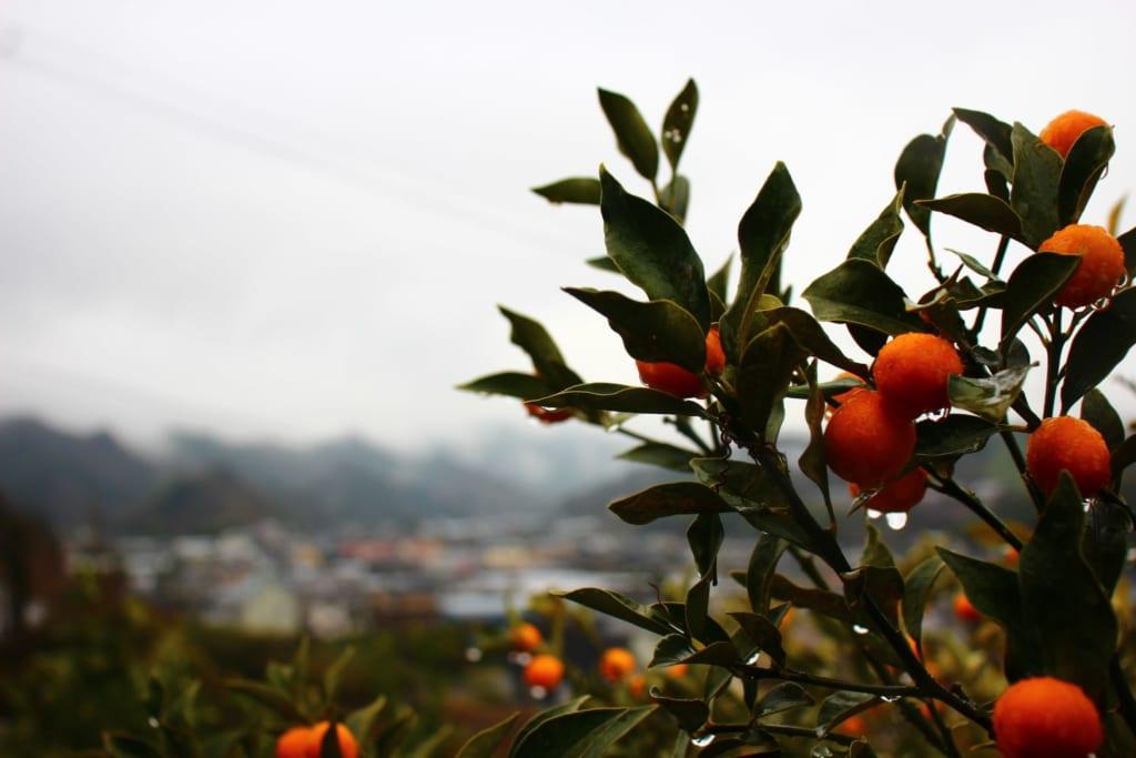 Mandarinier dans la ville de Tobe