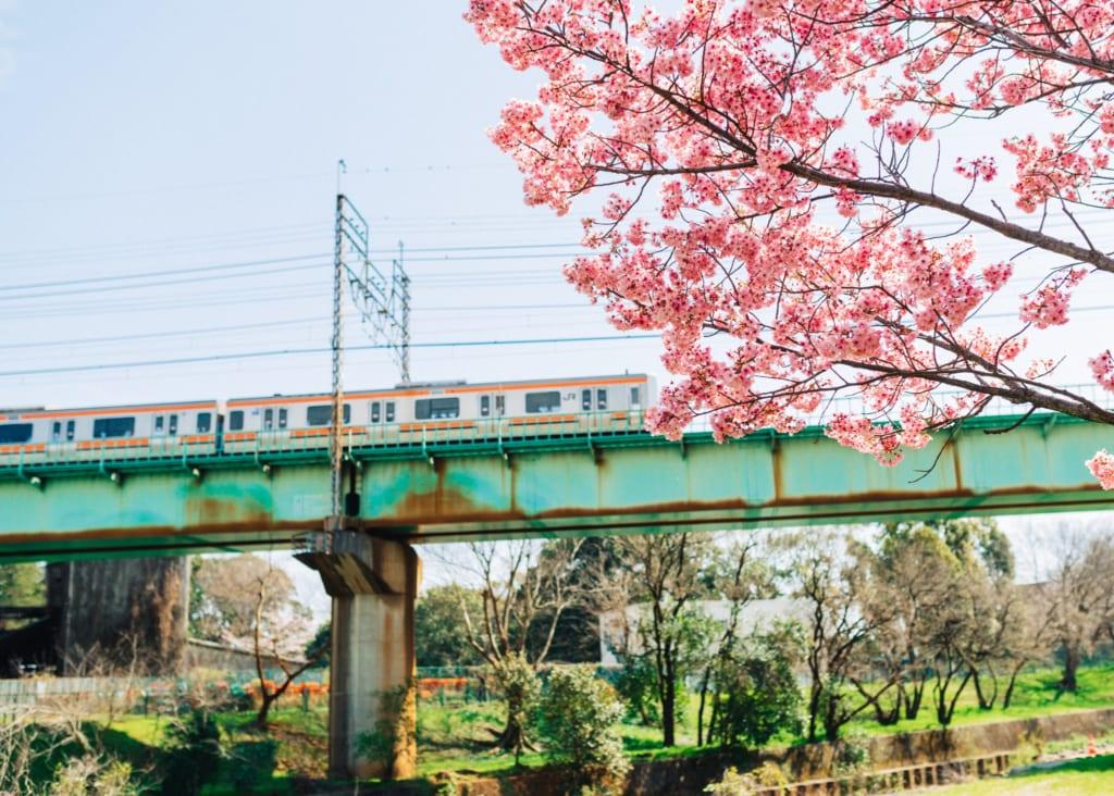 un train JR accessible avec un Japan Rail Pass au japon sur une voie aérienne durant les cerisiers en fleur