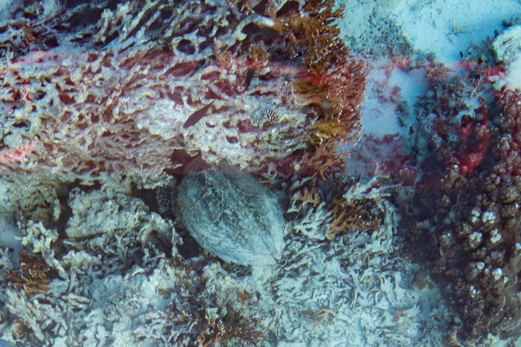 une tortue de mer au milieu de corails dans la baie de kabira