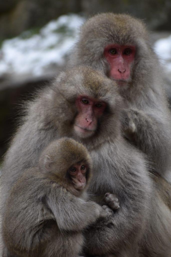 Deux macaques japonais et leur petit dans le parc aux singes de jigokudani monkey park