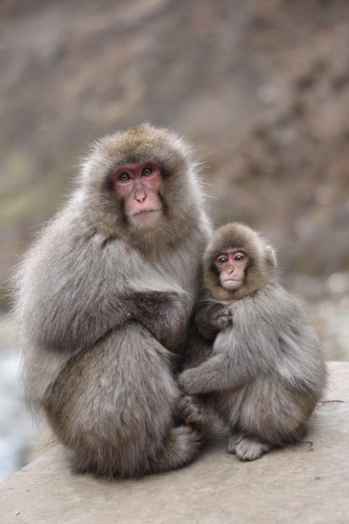 Un macaque et son petit près onsen du jigokudani monkey park