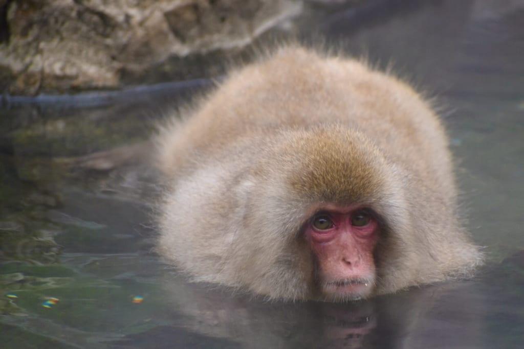 Un macaque à l'épais pelage plongé dans le onsen du jigokudani monkey park