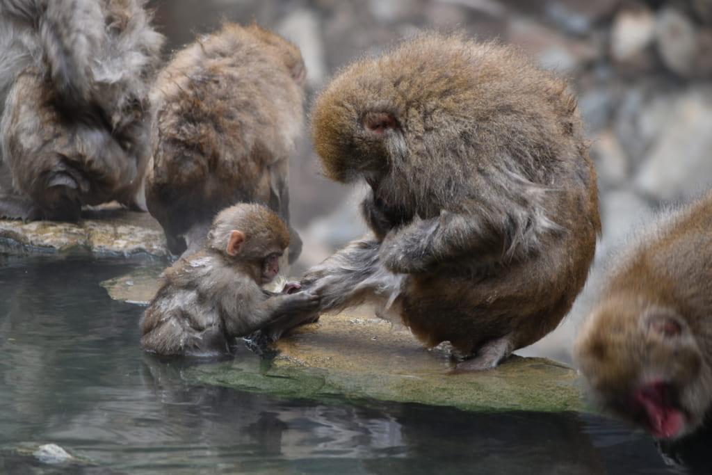 Macaques japonais faisant la toilette de leur petit au bord du onsen du jigokudani monkey park