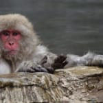 À la rencontre des singes du Jigokudani Monkey Park