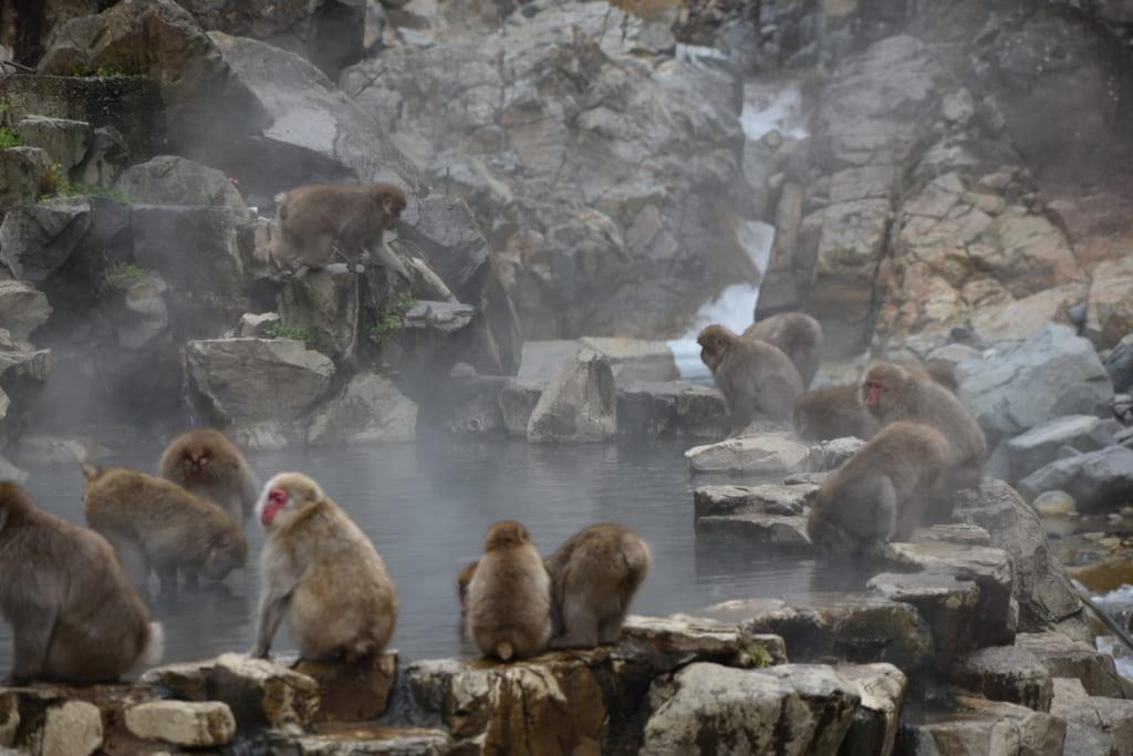 Un grand groupe de singes rassemblé autour du onsen fumant du jigokudani monkey park