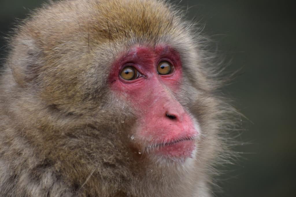Gros plan sur l'un des singes japonais du parc aux singes de jigokudani monkey park