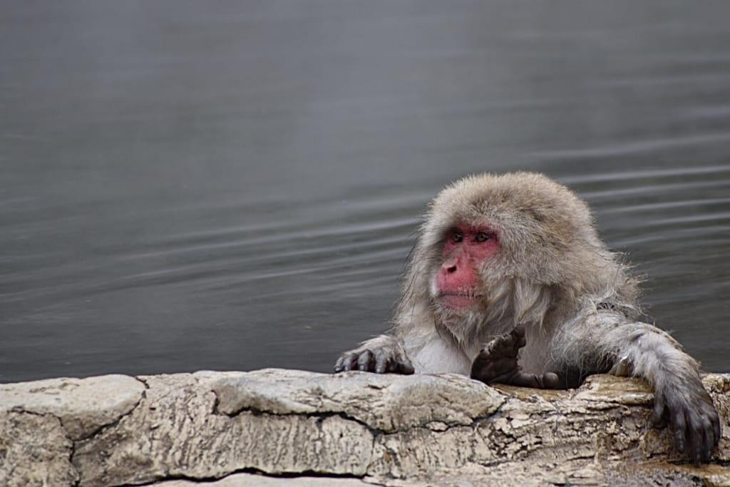 Macaque japonais en pleine détente dans l'eau chaude d'un onsen
