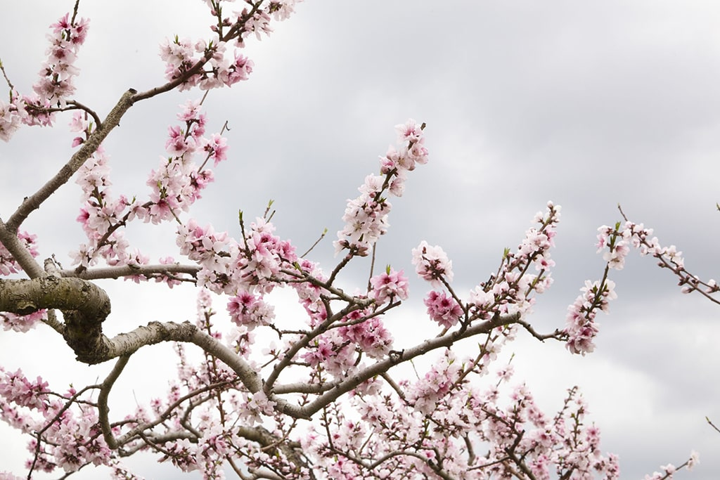 Pêcher en fleur au printemps