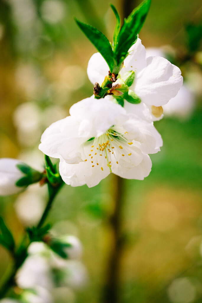 Une fleur blanch délicate au Japon