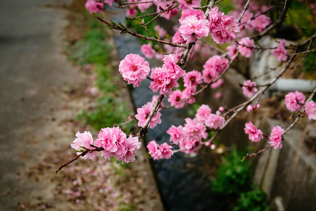 Des fleurs de pêcher roses
