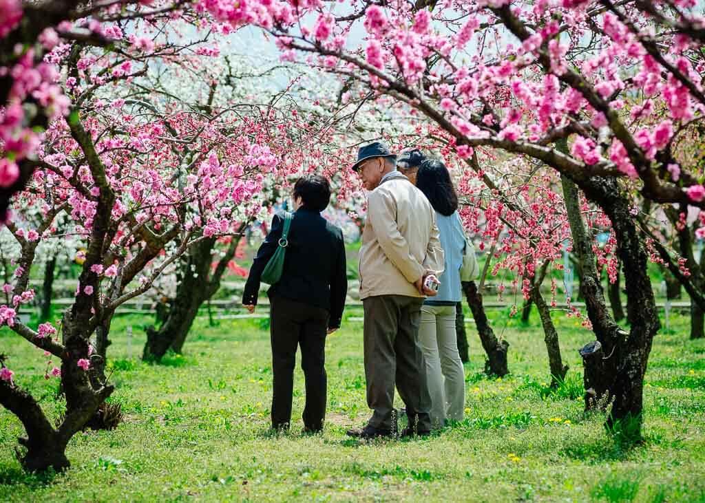 Des touristes profitant du hanami sous les pêchers en fleur