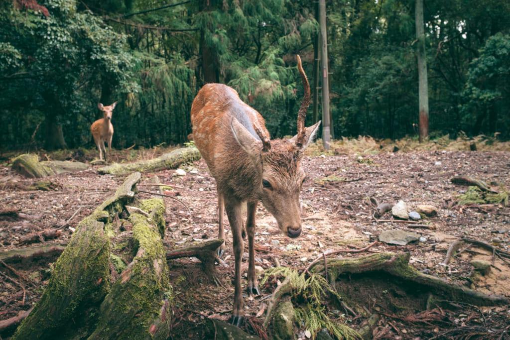 Un cerf sika dans l'enceinte du Parc de Nara