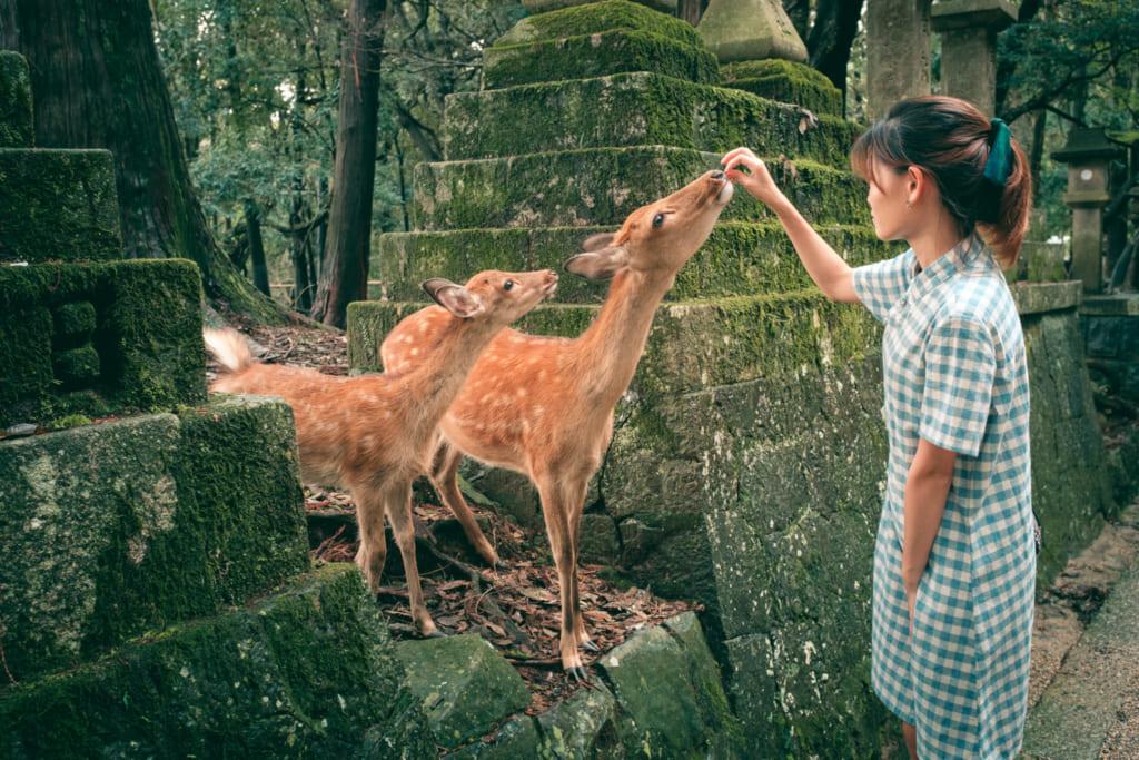 Des daims venant chercher à manger dans les allées du Parc de Nara