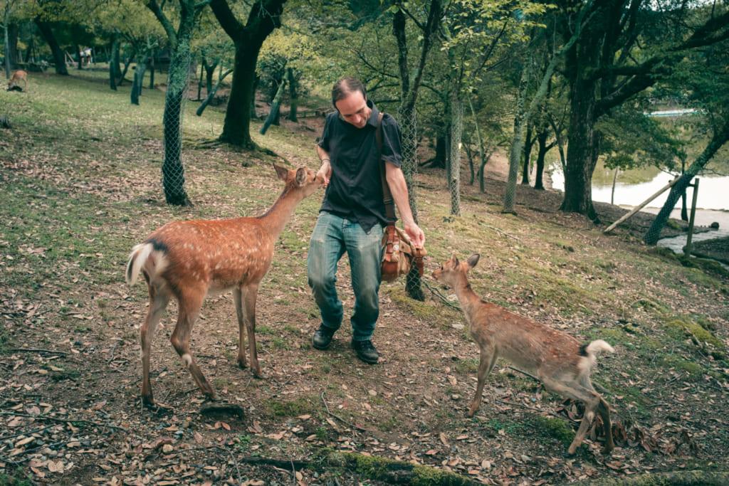 Touriste donnant à manger à des daims dans le parc de nara