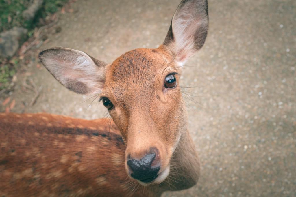 Les daims du Parc de Nara ne sont pas farouches et viennent à la rencontre des touristes