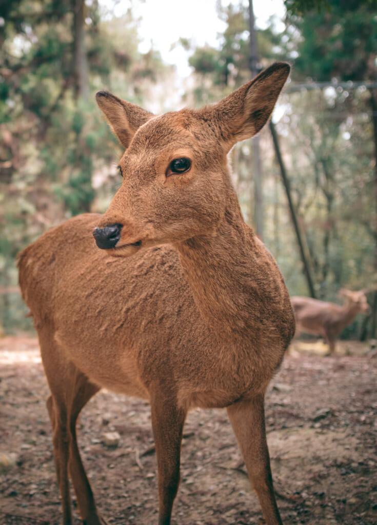 Un daim shika dans le parc de Nara