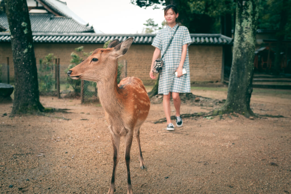 Daim japonais dans le parc de Nara