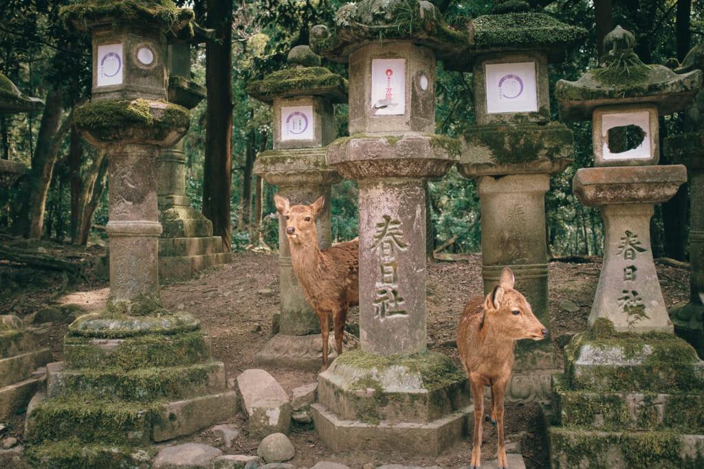 Des daims entre les lanternes en pierre du parc de Nara