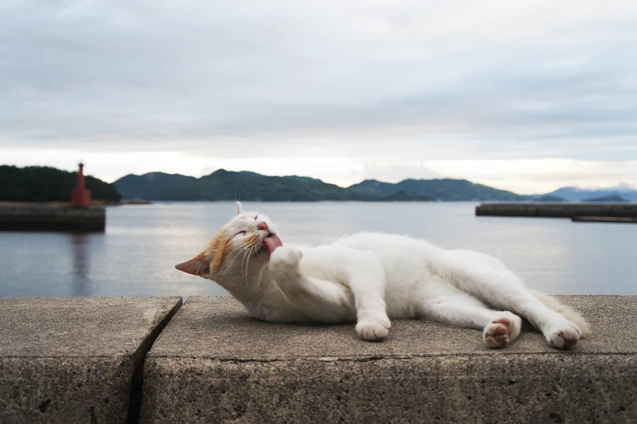 Chat faisant sa toilette à Manabeshima