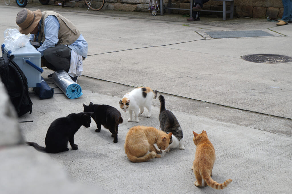 les chats de manabeshima entrain de prendre un repas