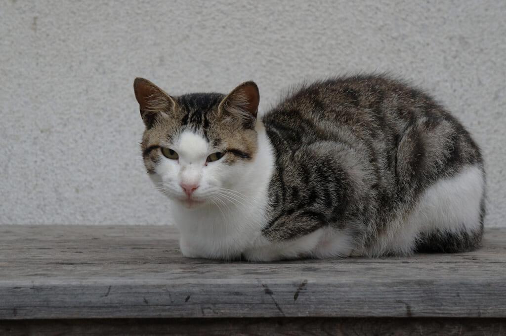 Chat gris et blanc à Manabeshima au Japon